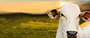 Certrim - Produtor não esqueça de vacinar seu gado